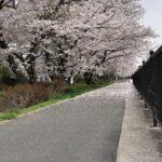 2021/03/31 13:28 高崎川の桜-千葉県佐倉市にて