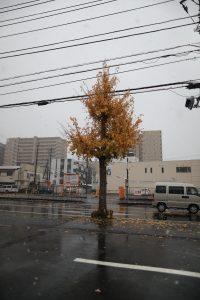 2016/11/24 9:37 それにしても寒い。紅葉から一転、茶ばむイチョウ。