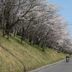 2012/04/12 14:06 カフェアイン約1周年 今年も佐倉は桜の季節になりました